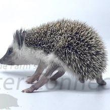 Wobbly Hedgehog Syndrome