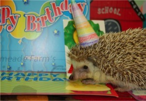 Hedgehog Hank on his 1st birthday