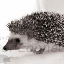 Hedgehog Longevity