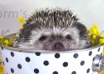 Hedgehogs As Gifts
