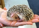 Are Hedgehogs Nocturnal, Crepuscular, or Diurnal?