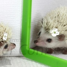 Are Hedgehogs Solitary or Social?
