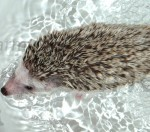 Bathing Your Hedgehog