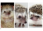 Hedgehog Age Considerations When Purchasing A Hedgehog
