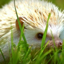 Why Are Hedgehogs Difficult To Find?