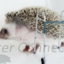 The Aging Hedgehog