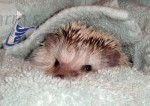 Human Allergic Reactions To Hedgehogs