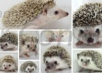 Selection Of Your New Hedgehog