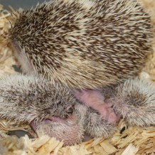 Hedgehog Breeding Challenges