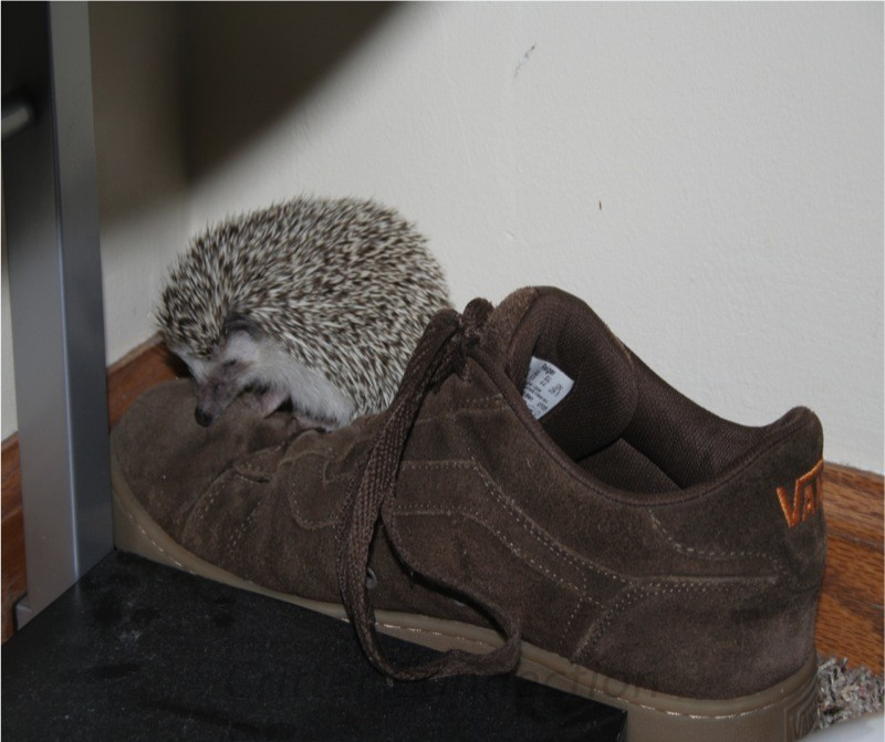 Hedgehog Frankie Bishop sitting on shoe