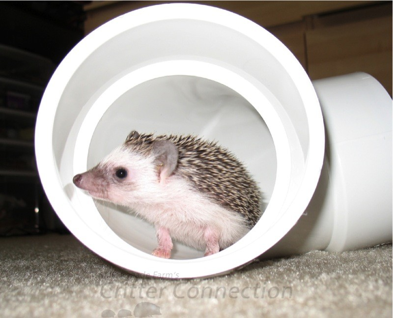 "Ryan's hedgehog ""Blue"" exploring a tube"